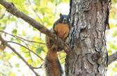 Fox Squirrel jeff jones