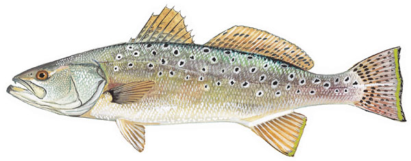 spottedseatrout