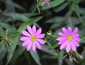5259  Bartrams Gentian Roses (Lewis Creek)