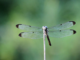 5111  Perched Dragonfly 2