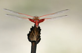 5413  Carolina Saddlebags Dragon Fly