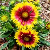 Blanket Flower Amy Schuler