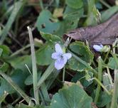 3237  Wild Blue Violet