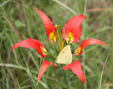0009  Pine Lily and the Cloudless Sulphur Butterfly