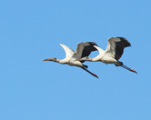 3158  Wood Storks in Flight 2
