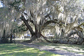 5085---1-20-16 The ancient Live Oak on Altama Plantation