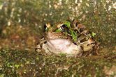 Southern Leopard Frog- Jeff Jones
