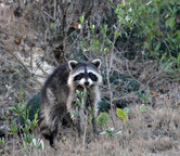 0368  Raccoon on St Simons Island