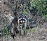 0368  Raccoon on St Simons Island