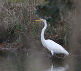 1100----Great White Egret(A) 2