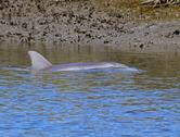 1277  Bottle Nose Dolphin (South Brunswick River) 2 2