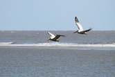 1845  Gould's Inlet Pelicans