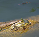 8258   Small turtle on a log