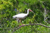 8482---4-19-17 White Ibis in full breeding colors