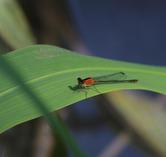 8508  Damsel Fly in the Champney River