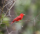 0540  Summer Tanager (FR)